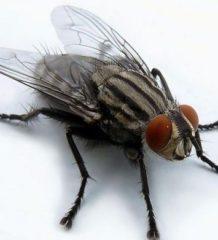 Укусы мухи